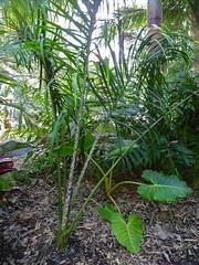 Dypsis mahajanga (tranquilometro) Tags: vacation garden palms paradise florida landscaping south tranquility palmeras palm palmtrees exotic tropical subtropical horticulture exoticplants broward miamidade arecaceae tropicalesque tropicallandscaping