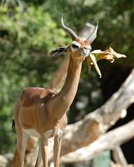 Southern Gerenuk at Wild Animal Park in Escondido-02 2-24-09