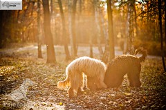 labradoodle australijskie (Australijskie Labradoodle Wlochata Pasja) Tags: doodle labradoodle therapydogs dudle australianlabradoodle australijskilabradoodle labradoodleaustralijski allergyfriendlydogs