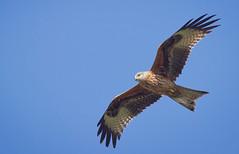 Red Kite Portrait (Desilmar) Tags: kite prey birdsofprey hawks falco redkite nibbio nibbioreale