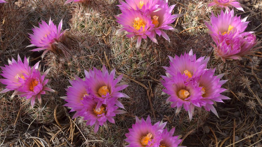Grand Canyon Cactus Flowers 7480
