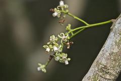 Kohekohe in flower - (Dysoxylum spectabile) (Steve Attwood) Tags: newzealand plant tree canon wellington floweringtree kohekohe otariwiltonsbush dysoxylumspectabile dysoxylum
