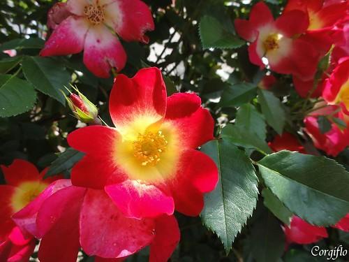 blog-110705-roses-3