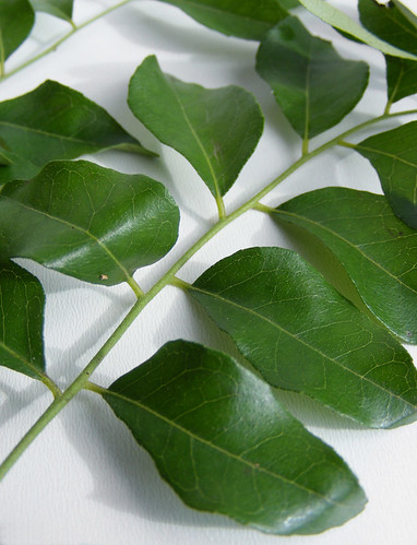Kerrie blad (curry leaf)