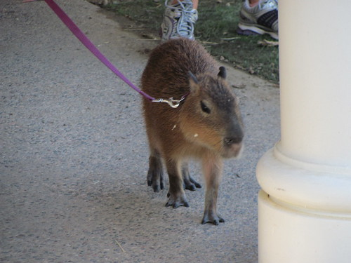 Walking the capybara