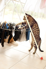 MisKet Doing Laundry (E.L.A) Tags: pets animal vertical cat turkey photography clothing funny europe day balcony tabby humor fulllength kittens nopeople istanbul indoors laundry hanging clothesline domesticanimals playful hygiene domesticlife domesticcat gettyimages clothespin tiledfloor oneanimal misket colorimage animalthemes july2011 thecatwhoturnedonandoff