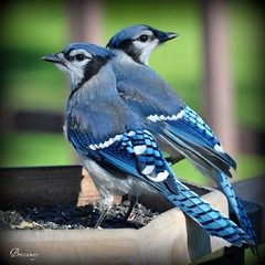 Baby Blue Jays exploring this big ole world :) (Explore) (Brittamay) Tags: world blue baby nature fauna flora nikon jay shots top ngc carousel best explore npc elegant platinum natures groups prestige d5000 natureselegantshots mimamors thebestofmimamorsgroups