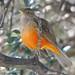 Zorzal Colorado / Sabiá-laranjeira