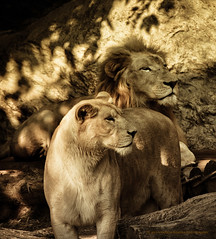'handsome couple' - up close & personal (a lion's pov) ( utathyabhadra) Tags: animal zoo nikon lion 100v10f lioness whitelion wow1 wow2 d7000 blinkagain galleryoffantasticshots highqualityanimals