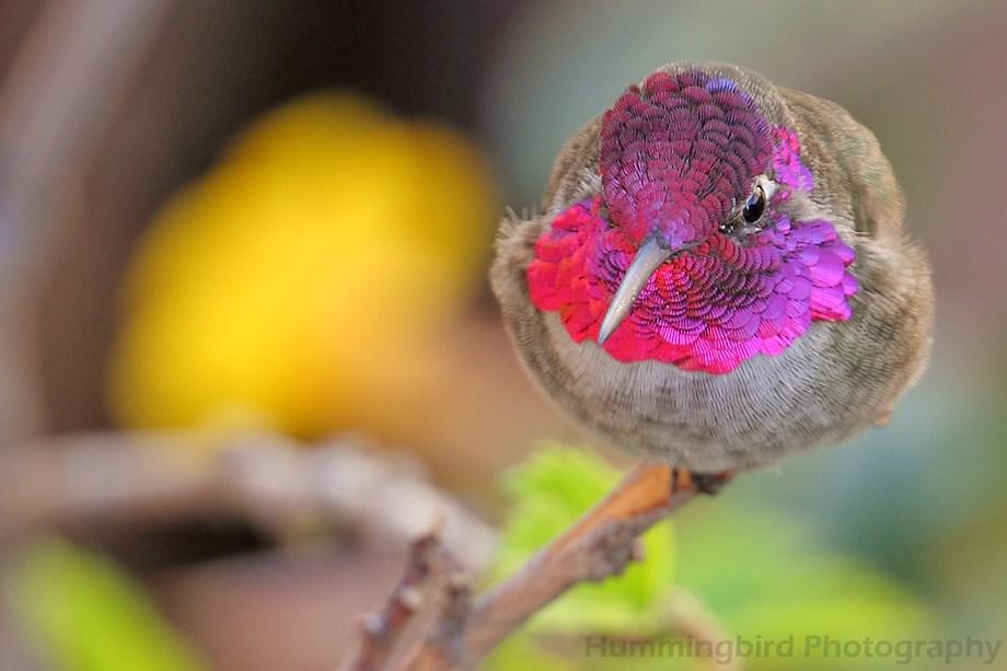 Anna's Hummingbird 100611-4