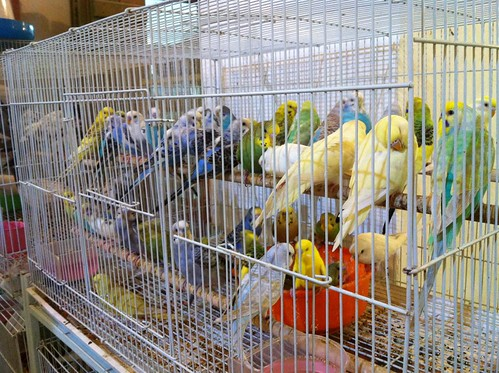 Birds for sale in Souq Waqif
