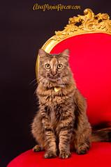 Hay algo ms hermoso en esta vida que mi princesa? (AniSuperNova83) Tags: cat reina kitty queen princesa canela candelera supernova83 anamariarincon canelathecat asnisupernova