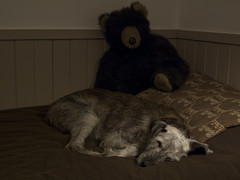 Might as well just go to sleep (Libby Hall Dog Photo) Tags: dog dogs teddybears pembury sleepingdogs