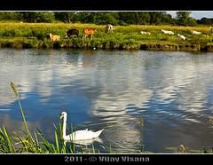WhiteSwan (Vijay_ktyely) Tags: