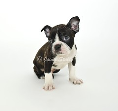 Boston Terrier Puppy (Jaime401) Tags: blackandwhite dog pet baby pets cute animal puppy bostonterrier mammal photography funny calendar fuzzy sweet small young canine whitebackground card copyspace brindle breed behavior domesticanimals affectionate picnik lapdog facialexpression introuble apologetic alertness purebreddog