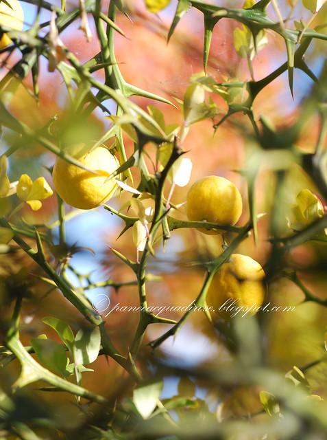 frutti gialli