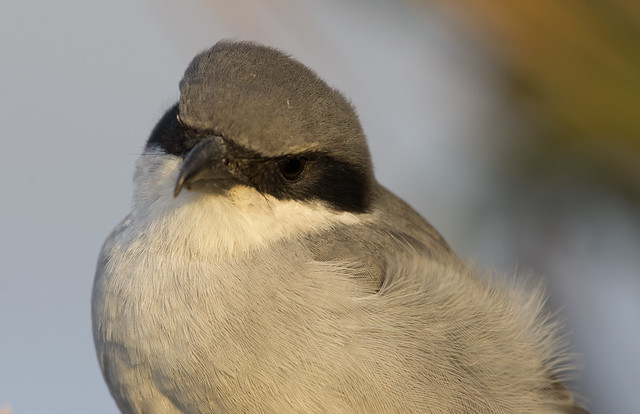 Desert Grey Shrike Lanius elegans close up