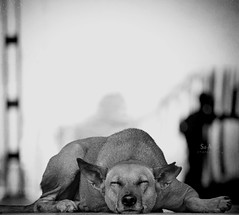 Behind those closed eyes~!{EXPLORED} (SidhArcheR) Tags: life sleeping dog pets streetart art love beauty animal train canon nose happy artistic fineart streetphotography bondage railwaystation talent dreams browndog deviant hyderabad doggie unnoticed closedeyes lightplay sleepingdog streetphotographer facesofindia peopleofindia petanimal indianphotographer beautifulindia artlibres indiandog catchthetrain 55250is peopleinrailwayandtramenvironments indiantalent sidharcher