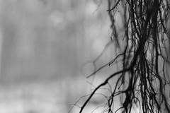 02.20.11 (Tyler Dawson) Tags: b trees bw white black tree art field canon project photography rebel photo experimental dof bokeh w roots 365 depth xsi tylerdawson tylerpdawson