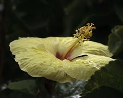 Maui Cream (Bill_Oswald) Tags: hawaii flora unitedstates maui hibiscus hana roadtohana