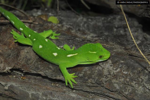 WM Nautilus gecko1