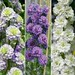 Delphinium Doubles Collection