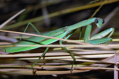 What are you looking at? (Languagefan1) Tags: green nature bug mantis insect scary eyes arboretum prayingmantis mortonarboretum lisleil