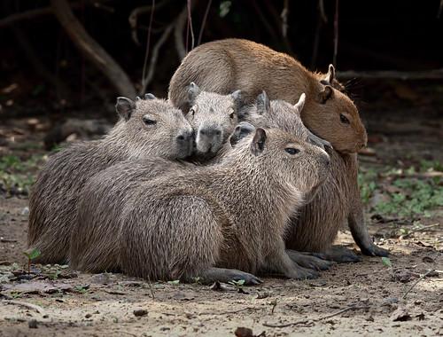 Capybara pile