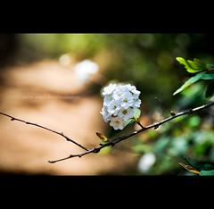 A la Montagne (Igor V. Ahn) Tags: fleur blanche fret sousbois d90 igorahn