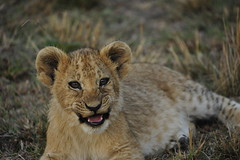_DSC9341 (d300man1965) Tags: cute cub lion trying growl flickrbigcats