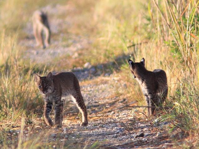 Bobcat family 3-20111103