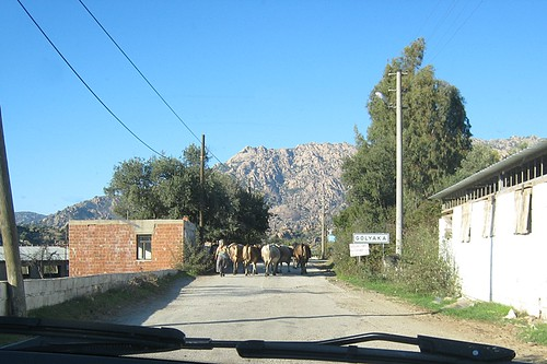 Moving the cows -Golyaka at  Lake Bafa