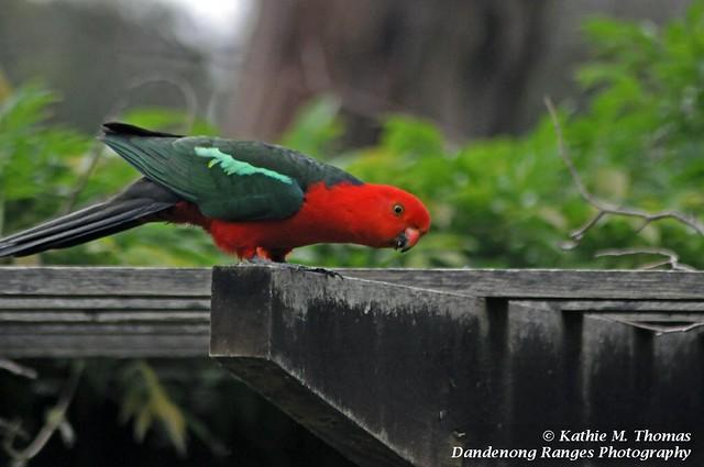 306-365 Australian King Parrot - male