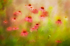 I Dreamed It Was Summer (DigiDi) Tags: flowers summer painterly art texture coneflowers dreams ethereal digitalphotopainting bej languageofflowers digidi memoriesbook photoartistry awesomeblossoms artistictreasurechest artcityart