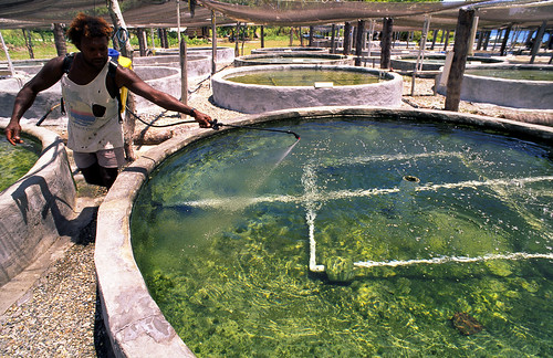 Adding fertiliser to land nursery tank - Aruligo, Solomon Islands. Photo by Mike McCoy, 2001