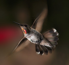 In Flight (Bill Gracey) Tags: lighting bird nature hummingbird wildlife flash hummer softbox strobes hummers snoot offcameraflash