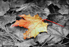 "The Fall of a Leaf . . .""  (Explored) (misst.shs) Tags: autumn fall nature leaves nikon mapleleaf sandpoint selectivecolor hcs northidaho d40x clichesaturday"
