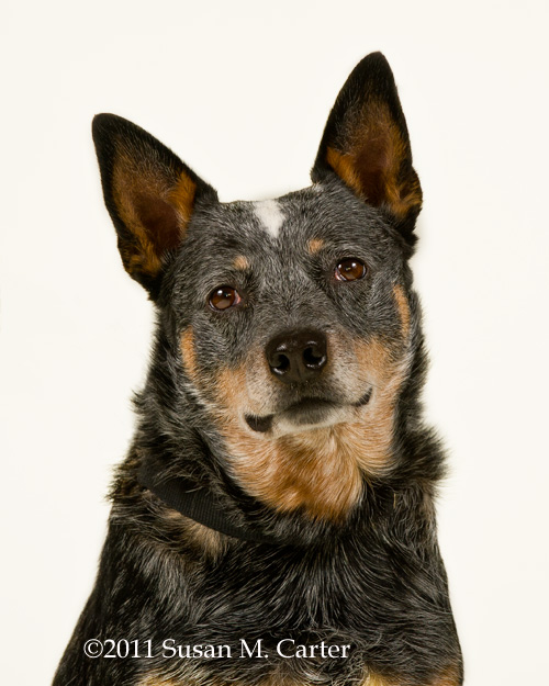 Australian Cattle Dog at Fauquier SPCA