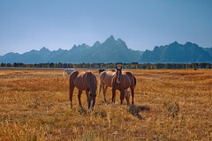 Grazing with a View (txcraig75) Tags: horses wyoming grandtetonnationalpark gtnp tetoncounty cathedralgroup canon24105mm elkranchflats canon5dmarkii