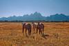 Grazing with a View (txcraig75) Tags: horses wyoming grandtetonnationalpark gtnp tetoncounty cathedralgroup canon24105mm elkranchflats canon5dmarkii