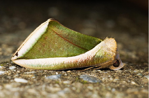看得出來,這是片枯葉,還是隻蛾?