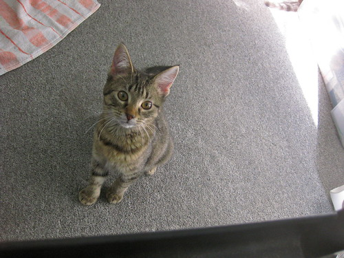 Image description: A brown tabby kitten sitting on the floor, looking up at the viewer