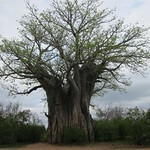 "Southernmost Baobab Tree <a style=""margin-left:10px; font-size:0.8em;"" href=""http://www.flickr.com/photos/14315427@N00/6347179534/"" target=""_blank"">@flickr</a>"