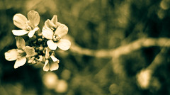 Ubiquitous (Kalyna Harasymiv) Tags: flowers blackandwhite bw macro nature spring twilight natural australia bugs canberra greyscale kalyna