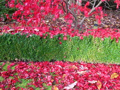 Red/Green (Lydie's) Tags: autumn red green fall leaves hedge worcestershire arleyarboretum