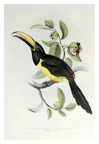 018- Araçari Humboldt-A monograph of the Ramphastidae or family of Toucans-1834- John Gould