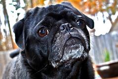 Sliding with Max (Just Joe ( I'm back...sort of )) Tags: dog pet black max nikon focus bokeh pug hss slidersunday
