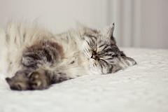 sleepy kitty (Shandi-lee) Tags: sleeping cat fur bedroom soft pastel kitty calm tones gentle