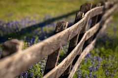 Above the crooked fence (Mabry Campbell) Tags: flowers blue flower nature fence photography march countryside wooden spring texas f45 100 wildflowers hillcountry bluebonnets 2012 200mm chappellhill texashillcountry washingtoncounty ef200mmf28liiusm sec mabrycampbell march242012 201203246343