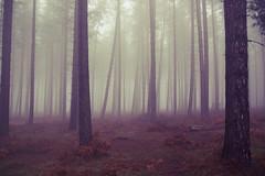 Foggy Trees (preynolds) Tags: trees mist fog woods forrest foggy cannockchase tamron1750mm canon600d